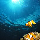 clownfish - great barrier reef - Cairns, Australia by Susanne Schmitz