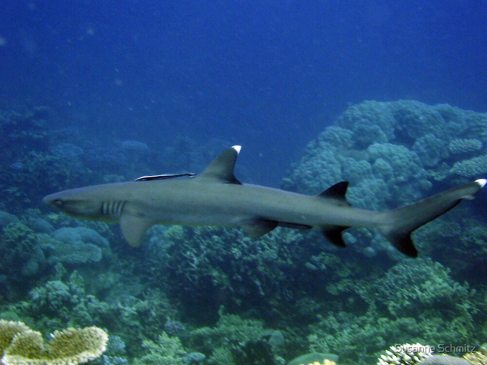 white tip reef shark by Susanne Schmitz