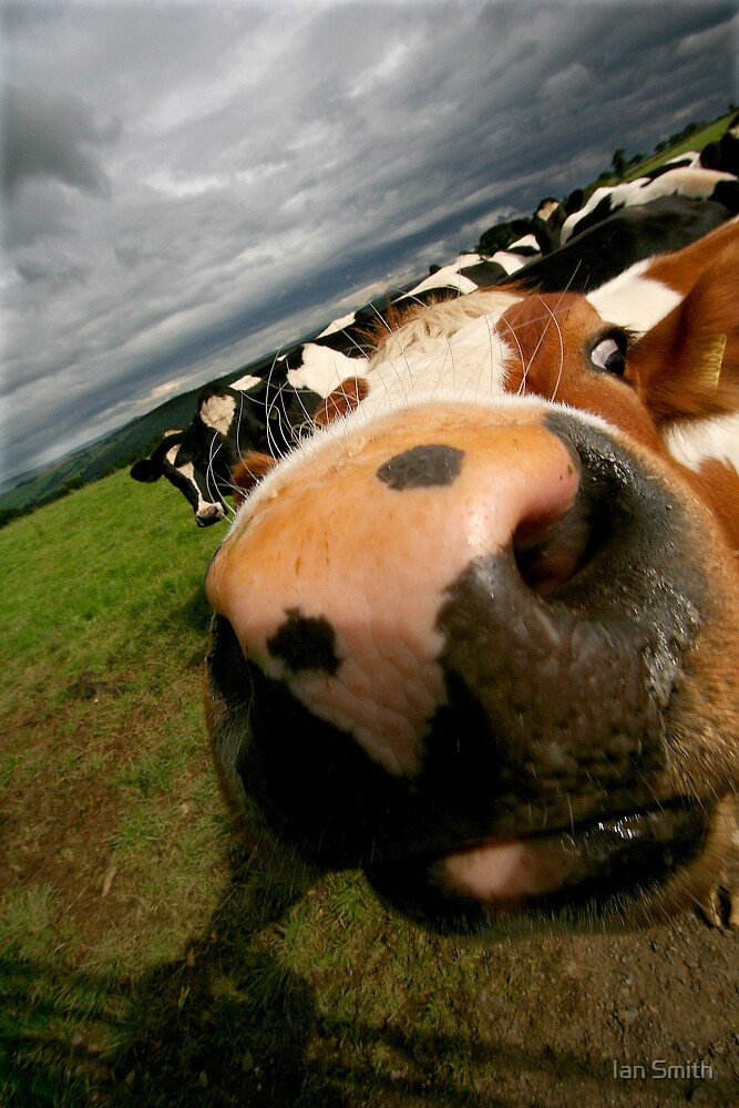 Nosy Cow by Ian Smith