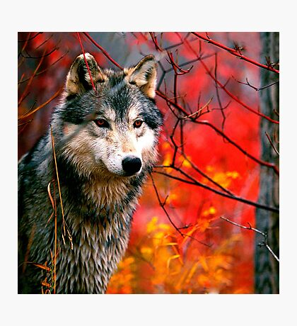 Grey Wolf in Beautiful Red and Yellow Foliage                                            Photographic Print