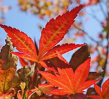 Red Maple Leaves by Mariola Szeliga