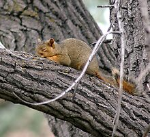 Sleeping Squirrel by Holly Werner