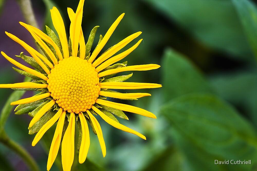 Yellow Daisy by David Cuthriell