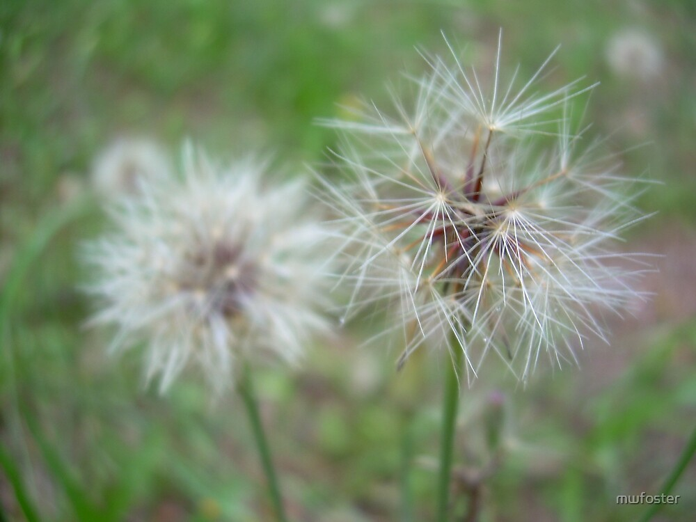 dandelion seeds by mwfoster