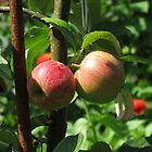 Sunlit Red Apples, Lost Gardens of Heligan, Cornwall by MidnightMelody