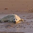 Seal pup by almaalice