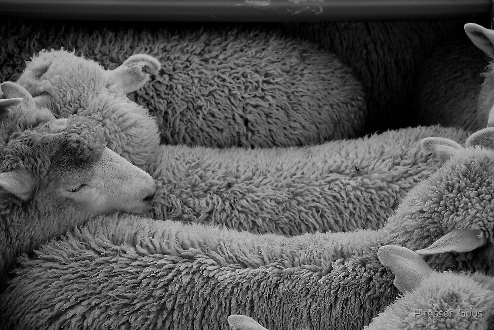 counting sleeping sheep by Gus Buckner