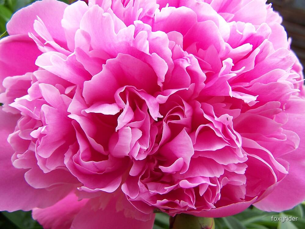Full bloom by foxyrider