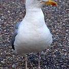Handsome Gull by John Thurgood
