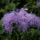 Ageratum houstonianum or Floss Flower by Marilyn Harris