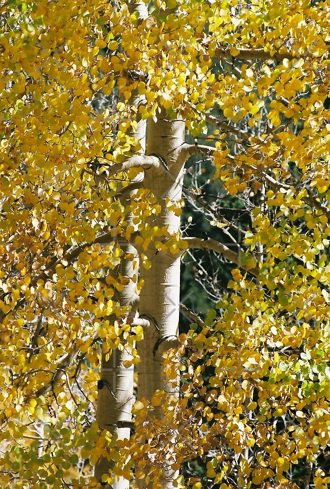 Aspens by Holly Werner