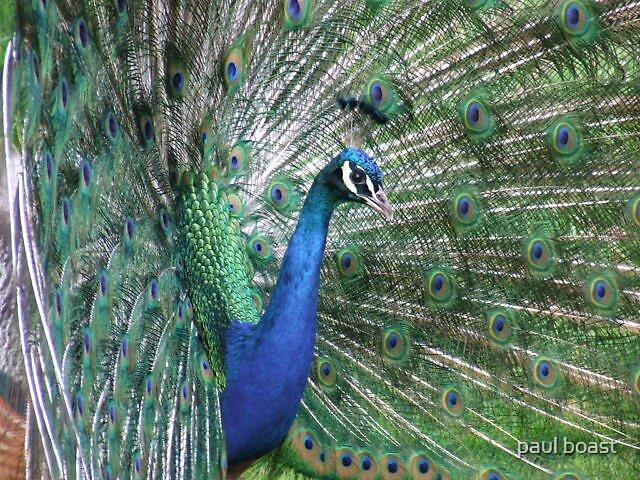 peacock by paul boast