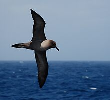 Light Mantled Sooty Albatross by Clare McClelland