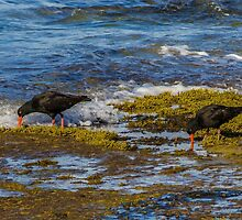 Sooty Oyster Catchers. by Bette Devine