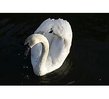 Swan No1 Photographic Print