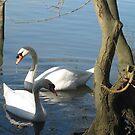 Swan pair by KMorral