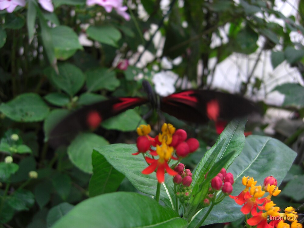 butterflies by simon lock