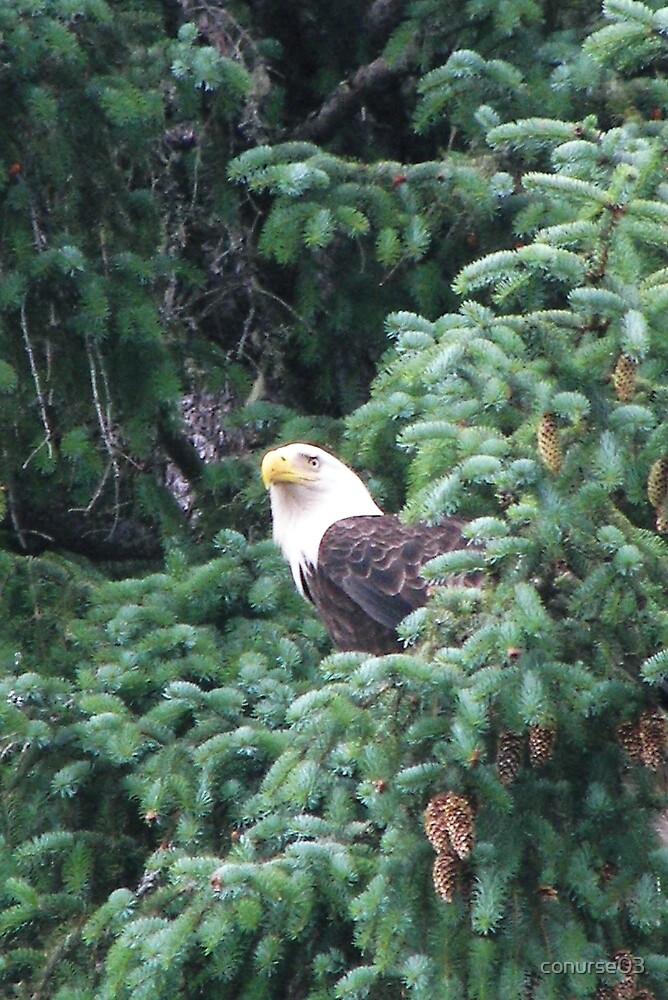 Bald Eagle by conurse03