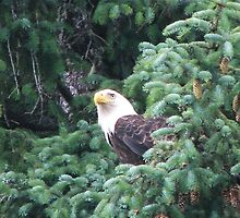 Bald Eagle by conurse03