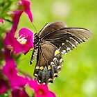 Black Swallowtail Butterfly by Christina Rollo