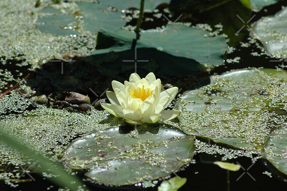 Water Lily by Holly Werner