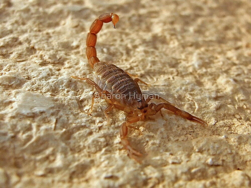 scorpion attack by Aharon Hyman