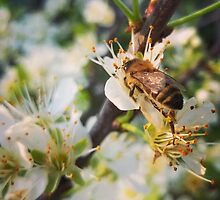 Bee at work by Bela Dako