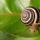 Snail on Leaf by relayer51