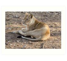 Lioness at rest Art Print