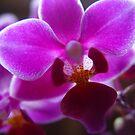 Angelic Orchid by DARRIN ALDRIDGE