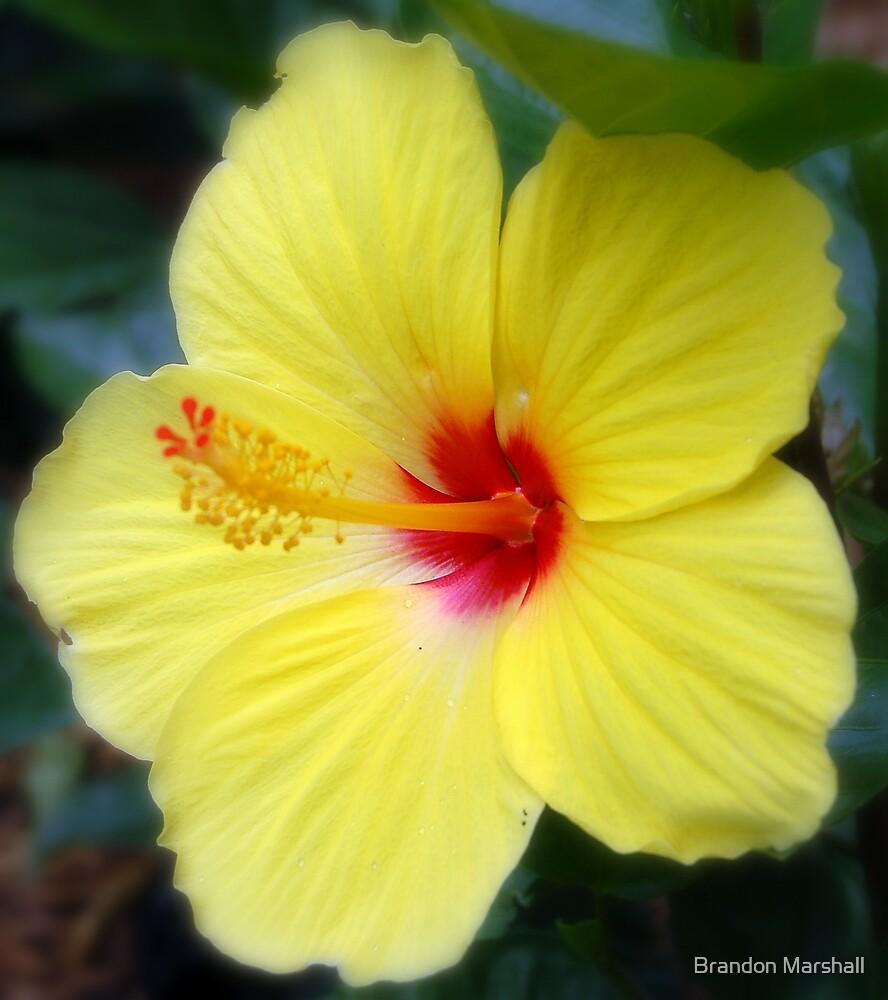 Yellow Hibiscus Flower by Brandon Marshall