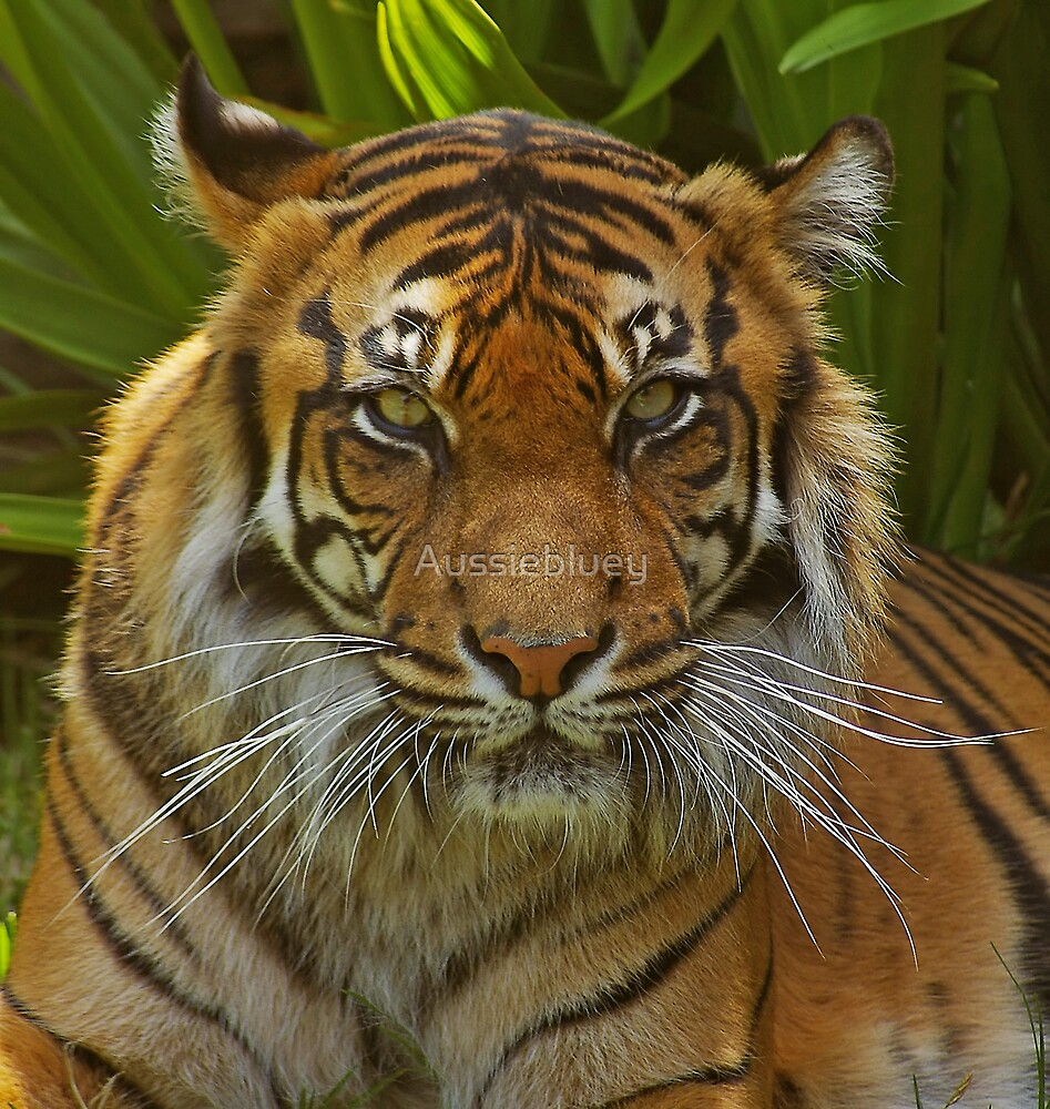 Sumatran Tigress. by Aussiebluey