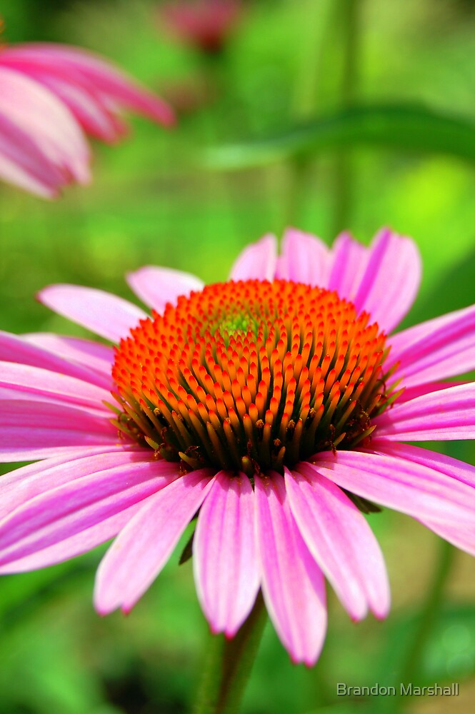 Pink Cone Flower by Brandon Marshall