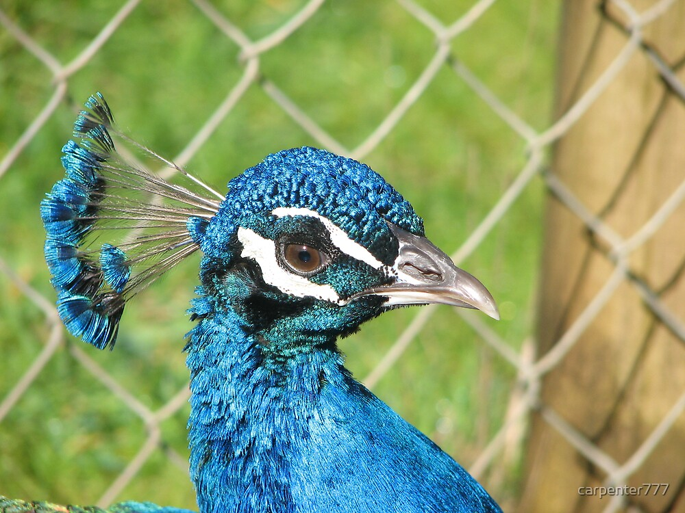 peacock by carpenter777