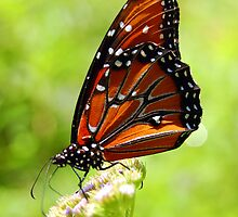 Monarch Butterfly by Brandon Marshall