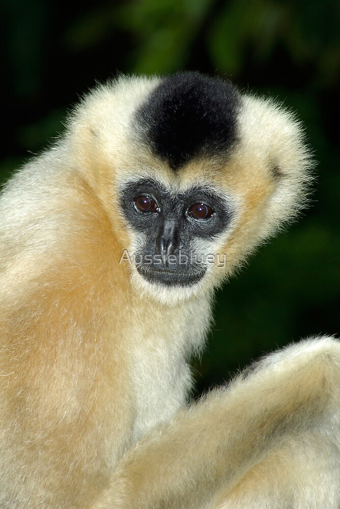 White Cheek Gibbon. by Aussiebluey
