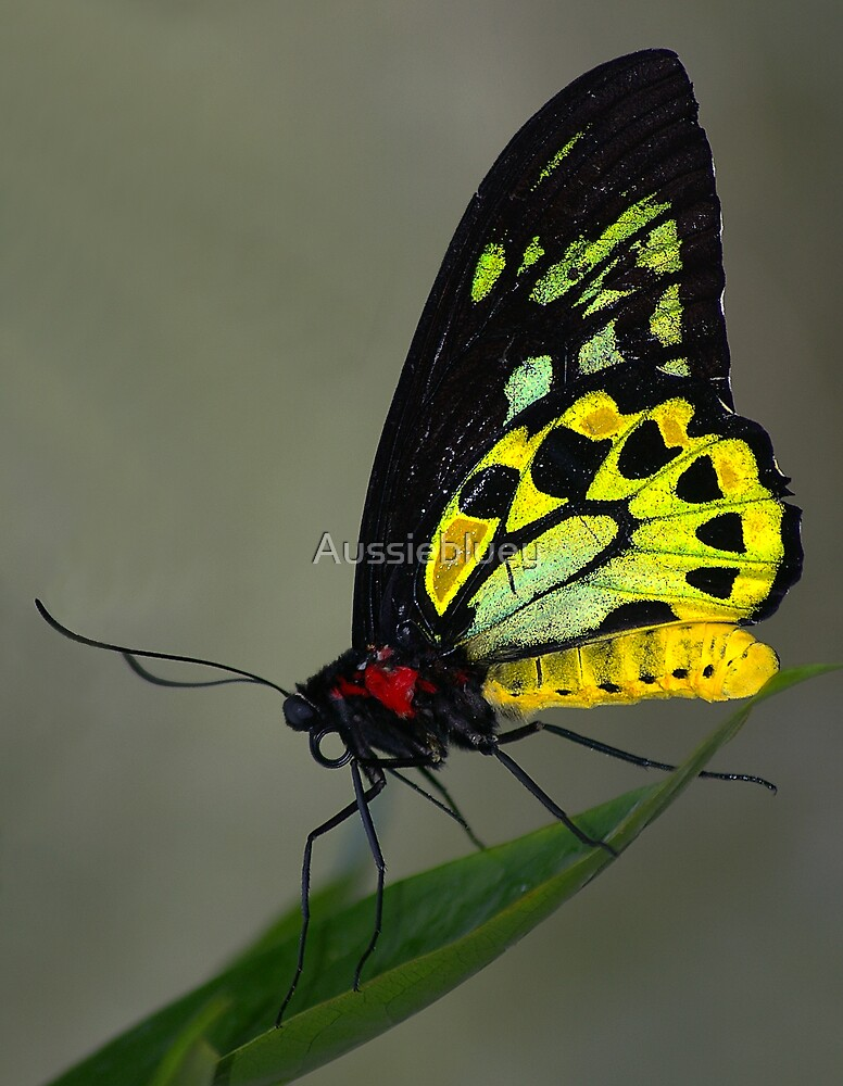 Cairns Birdwing. by Aussiebluey