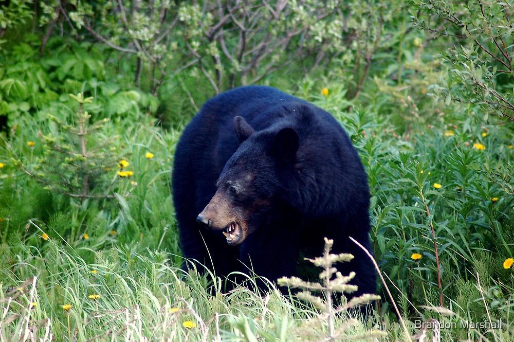 Wild Black Bear in Alaska by Brandon Marshall