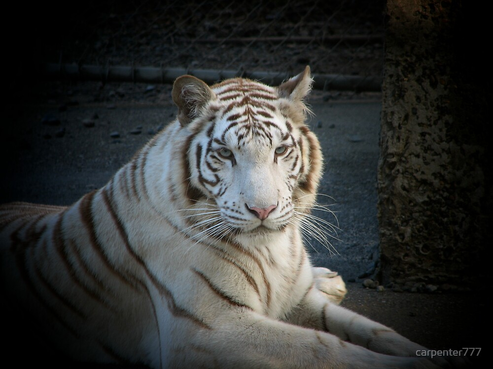 White tiger by carpenter777