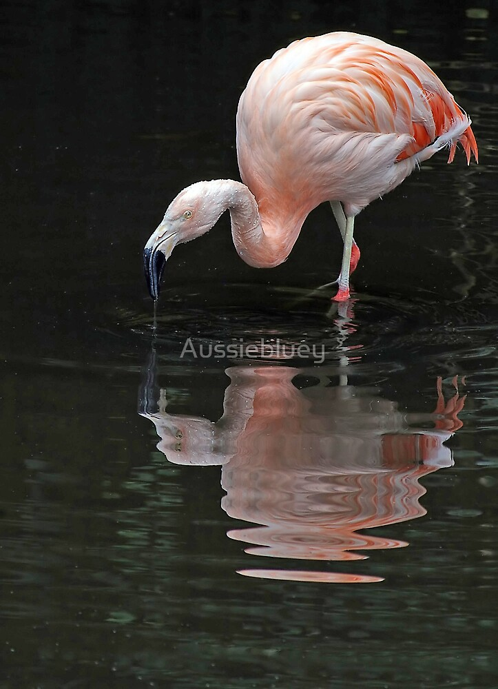Flamingo reflections. by Aussiebluey