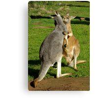 Kangaroo's sharing a moment. Canvas Print