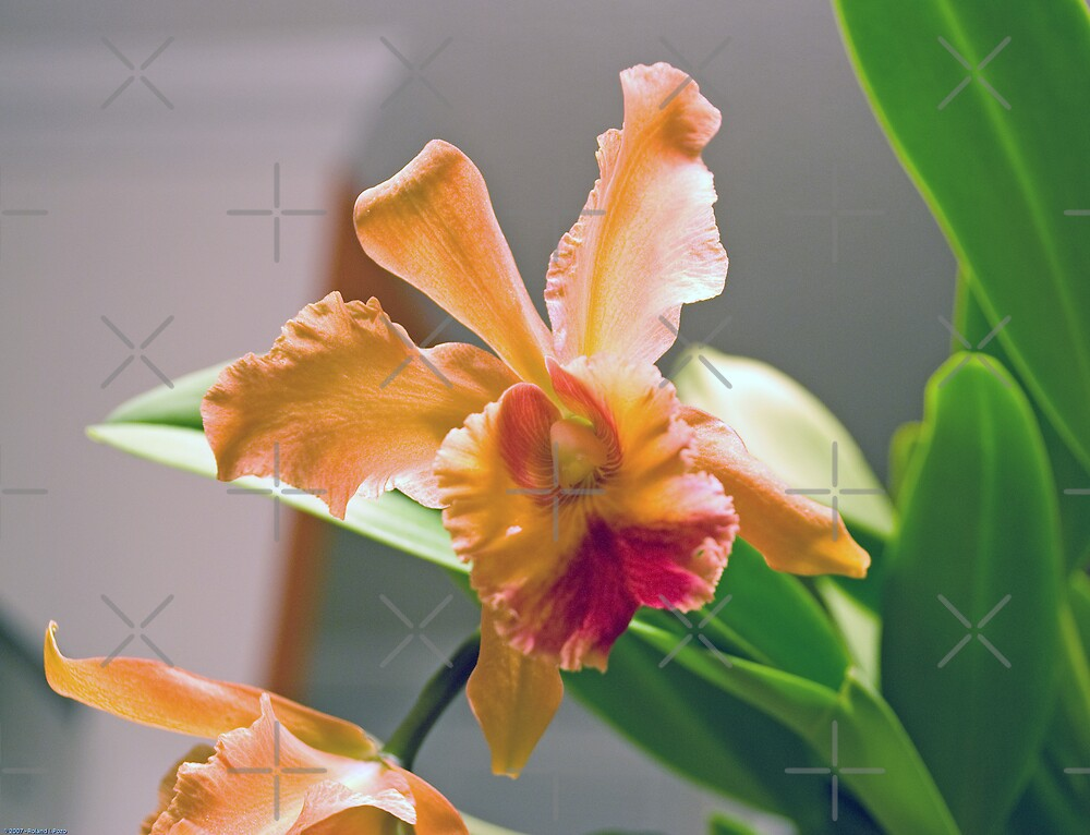 Cattleya by photorolandi
