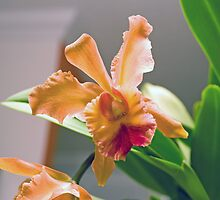 Cattleya by Roland Pozo