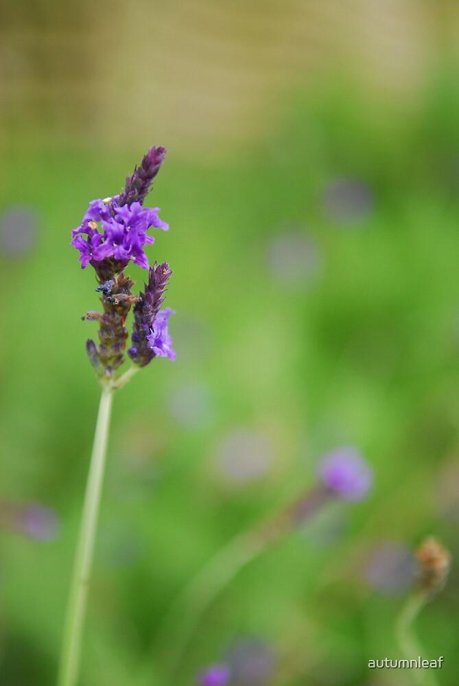 Lavender by autumnleaf