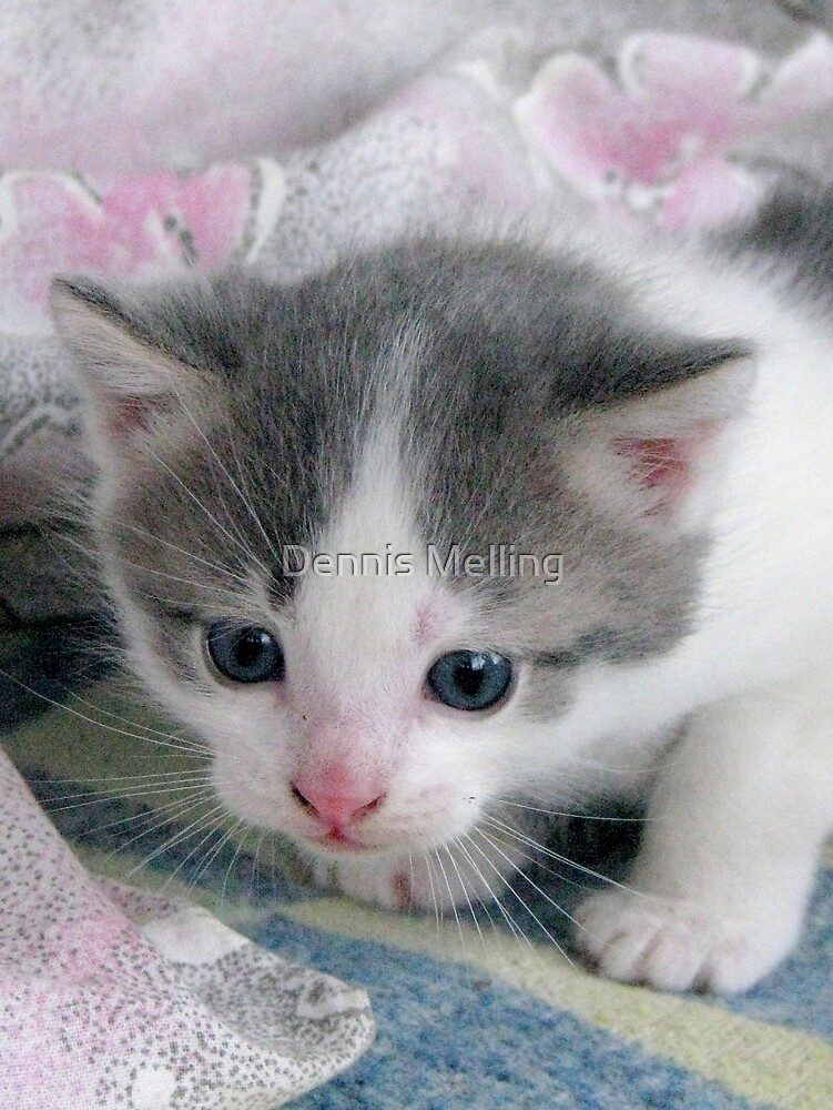 Grey and White Kitten in Barda, Romania by Dennis Melling