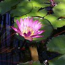 Water Lily's Glow by DARRIN ALDRIDGE