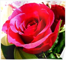 Cerise Pink Rose Poster