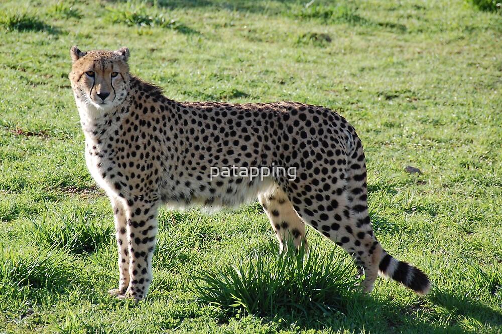 Ambassador Cheetah, Monarto Zoo Sth, Aust by patapping