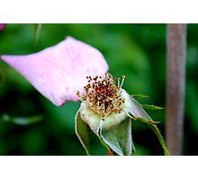Rose head Photographic Print
