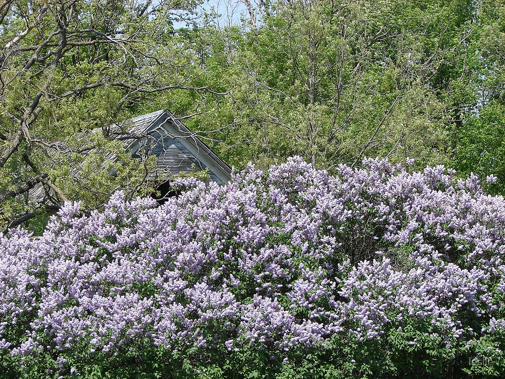 Spring Lilacs by leslie